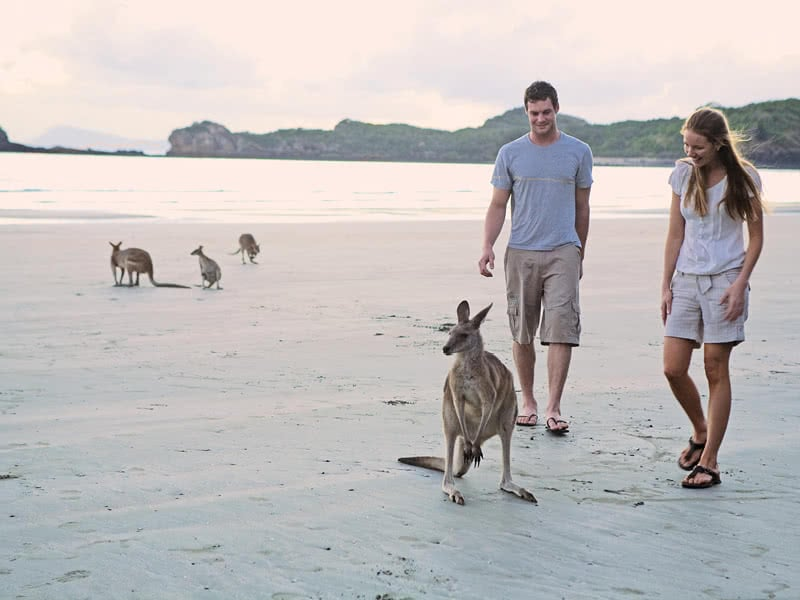 A couple walking on the beach with kangaroos and wallabies at Cape Hillsborough National Park