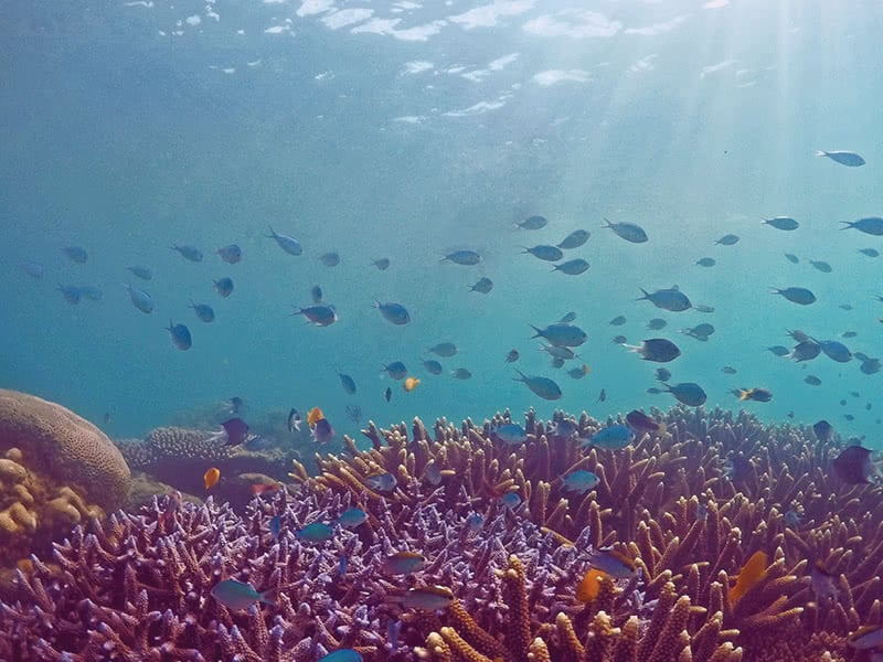 A school of fish with bright coloured coral reef on the Great Barrier Reef