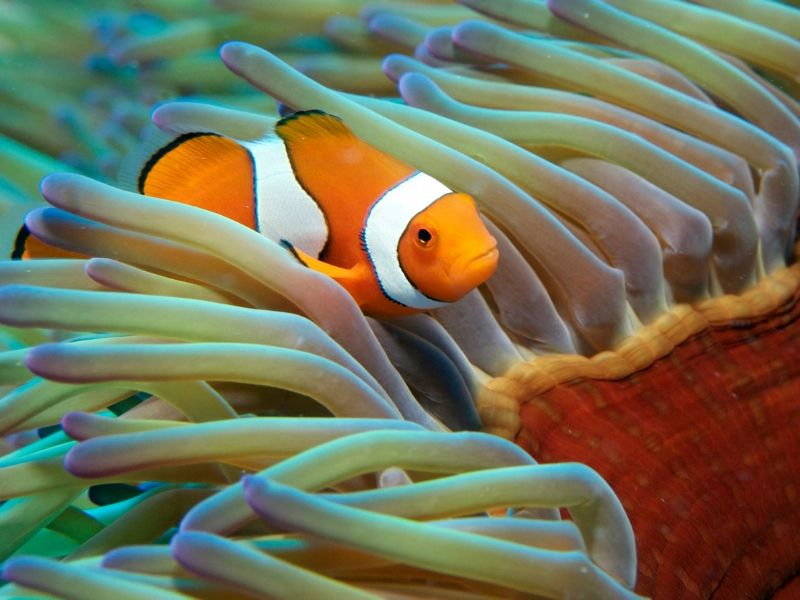 A clown fish in an anemone in the Great Barrier Reef