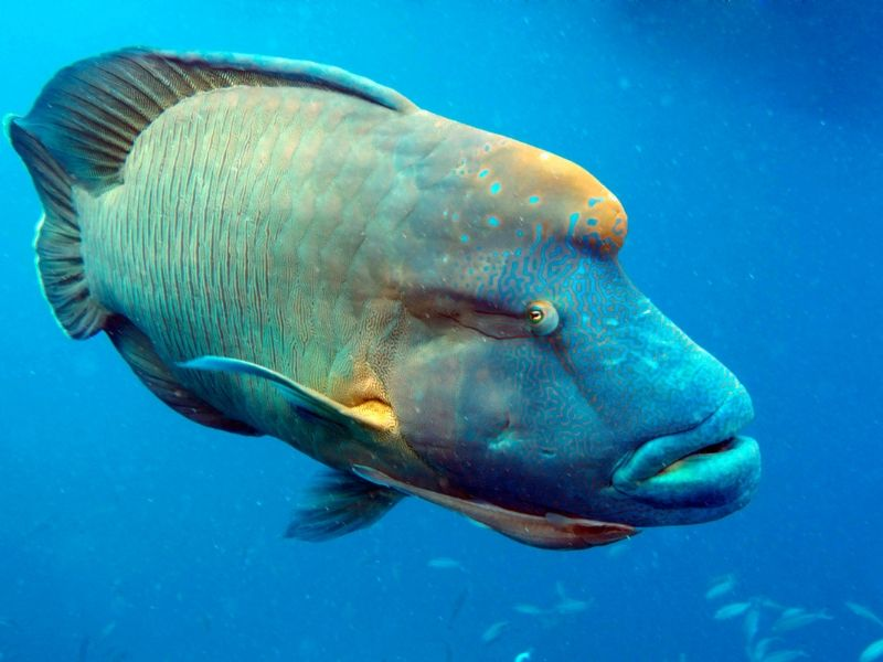 A brightly coloured humphead Maori Wrasse on the Great Barrier Reef