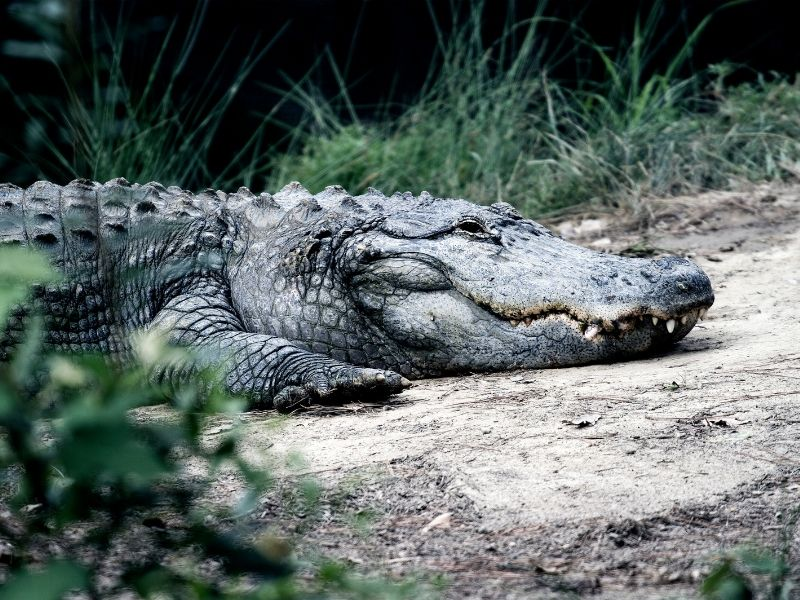 A crocodile resting on the banks of a river