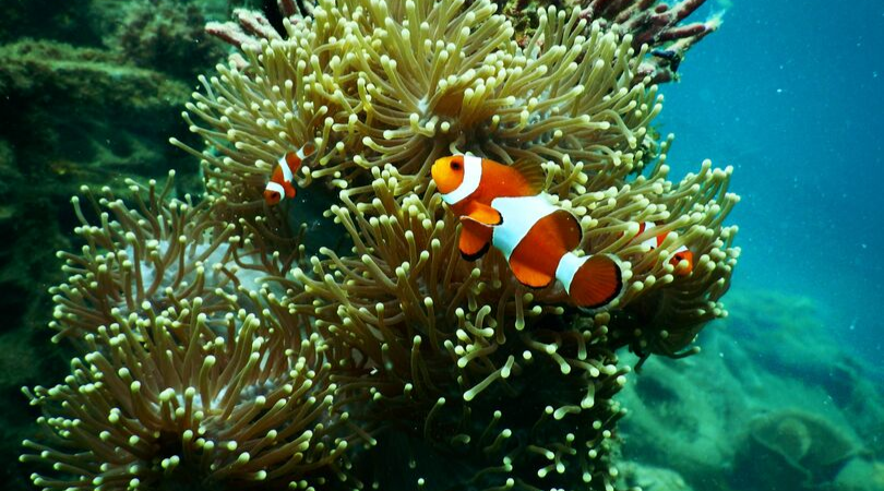 A family of clown fish in an anemone on the Great Barrier Reef